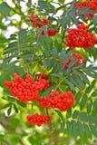Bagas vermelhas de um aucuparia ordinário L do Sorbus da cinza de montanha fotografia de stock royalty free