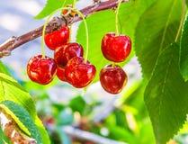 Bagas vermelhas de uma cereja doce em um ramo foto de stock royalty free