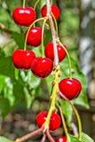 Bagas vermelhas de uma cereja doce em um ramo, close-up Fotografia de Stock Royalty Free