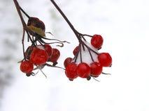 Bagas vermelhas do inverno fotos de stock royalty free