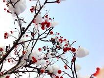 Bagas vermelhas do inverno cobertas com a neve Fotos de Stock Royalty Free