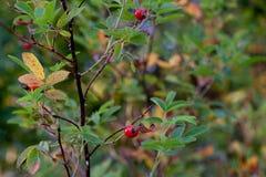 Bagas vermelhas do outono fotografia de stock