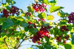 Bagas vermelhas do ramo do viburnum imagem de stock
