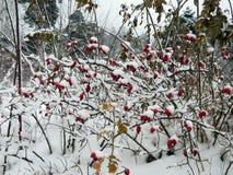 Bagas vermelhas do rosehip na geada do inverno foto de stock royalty free