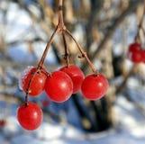 Bagas vermelhas do viburnum congeladas no close up do ramo Fotografia de Stock