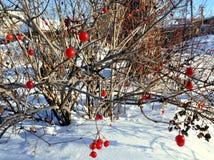 Bagas vermelhas do viburnum congeladas no close up do ramo Imagens de Stock Royalty Free