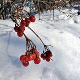 Bagas vermelhas do viburnum congeladas no close up do ramo Imagem de Stock
