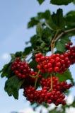 Bagas vermelhas do Viburnum fotografia de stock royalty free