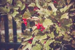 Bagas vermelhas do Viburnum na árvore Fotografia de Stock Royalty Free