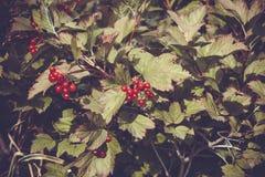 Bagas vermelhas do Viburnum na árvore Fotografia de Stock