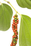 Bagas vermelhas e verdes do Peppercorn na videira isolada foto de stock