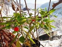 Bagas vermelhas em meu jardim orgânico nevado fotografia de stock