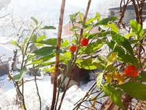 Bagas vermelhas em meu jardim orgânico nevado foto de stock
