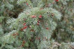 bagas vermelhas em uma árvore Fotografia de Stock