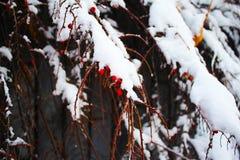 Bagas vermelhas espessas com neve fotos de stock