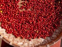Bagas vermelhas frescas dos feijões de café no processo de secagem foto de stock