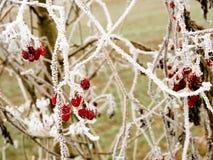 Bagas vermelhas geadas pelo frio do inverno Fotos de Stock Royalty Free