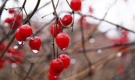 Bagas vermelhas na chuva Fotografia de Stock Royalty Free
