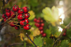 Bagas vermelhas na flor Fotos de Stock Royalty Free
