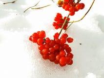Bagas vermelhas na neve branca imagem de stock royalty free
