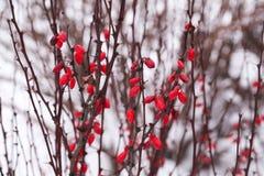Bagas vermelhas na neve do inverno fotografia de stock royalty free