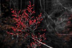 Bagas vermelhas nas madeiras no inverno fotografia de stock