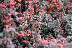 Bagas vermelhas no arbusto Fotos de Stock