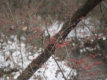 Bagas vermelhas no inverno imagens de stock