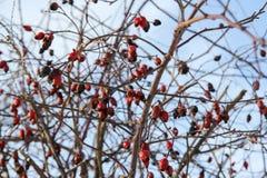 Bagas vermelhas no inverno Fotografia de Stock Royalty Free