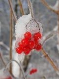 Bagas vermelhas no inverno Fotos de Stock