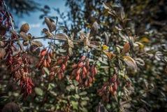 Bagas vermelhas no outono fotografia de stock royalty free