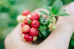 Bagas vermelhas selvagens airela, foxberry, lingonberry com folhas Materiais crus, orgânicos para o skincare Fotos de Stock Royalty Free