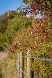 Bagas vermelhas sobre a cerca do arame farpado Fotos de Stock Royalty Free