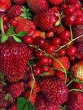 Bagas vermelhas suculentas morango e corinto Imagem de Stock