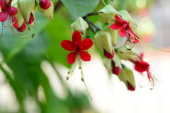Bagflower. Clerodendrum thomsoniae or bag flower Royalty Free Stock Photography