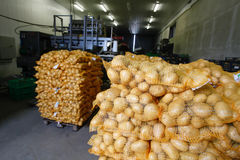 Bagged potatoes. Prepared for transport and sale Stock Images