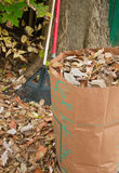 Bagging fall Leaves Royalty Free Stock Photo