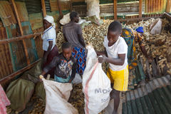 Bagging Maize Stock Image