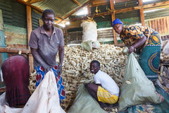 Bagging Maize Stock Photos