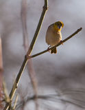 The Baglafecht Weaver Royalty Free Stock Images