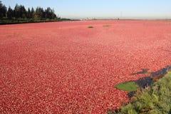 bagna cranberry zalewał Zdjęcie Royalty Free