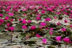 Bagna Czerwony lotosowy morze czerwony lotosowy Tajlandia Obrazy Stock