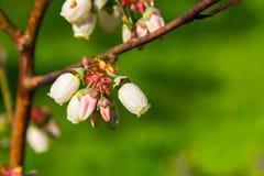 bagna dewdrops kwiatów whortleberry obrazy stock
