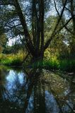 Bagna drzewo w odbiciu Fotografia Royalty Free