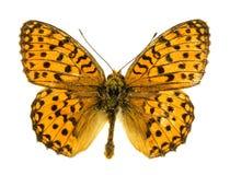 Bagna Fritillary motyl Zdjęcie Royalty Free