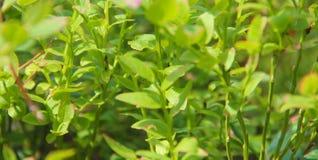 Bagna huckleberry lub północna borówka Zdjęcia Stock