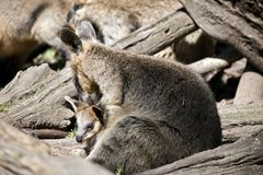 Bagna joey i wallaby fotografia stock