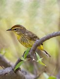 bagna magee palm warbler Ohio usa obraz royalty free