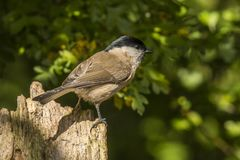 Bagna tit, Poecile palustris Ptak śpiewający fotografia royalty free