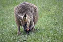 Bagna Wallaby zdjęcia stock